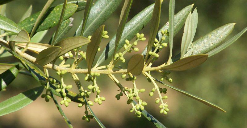flor del olivo cerrada